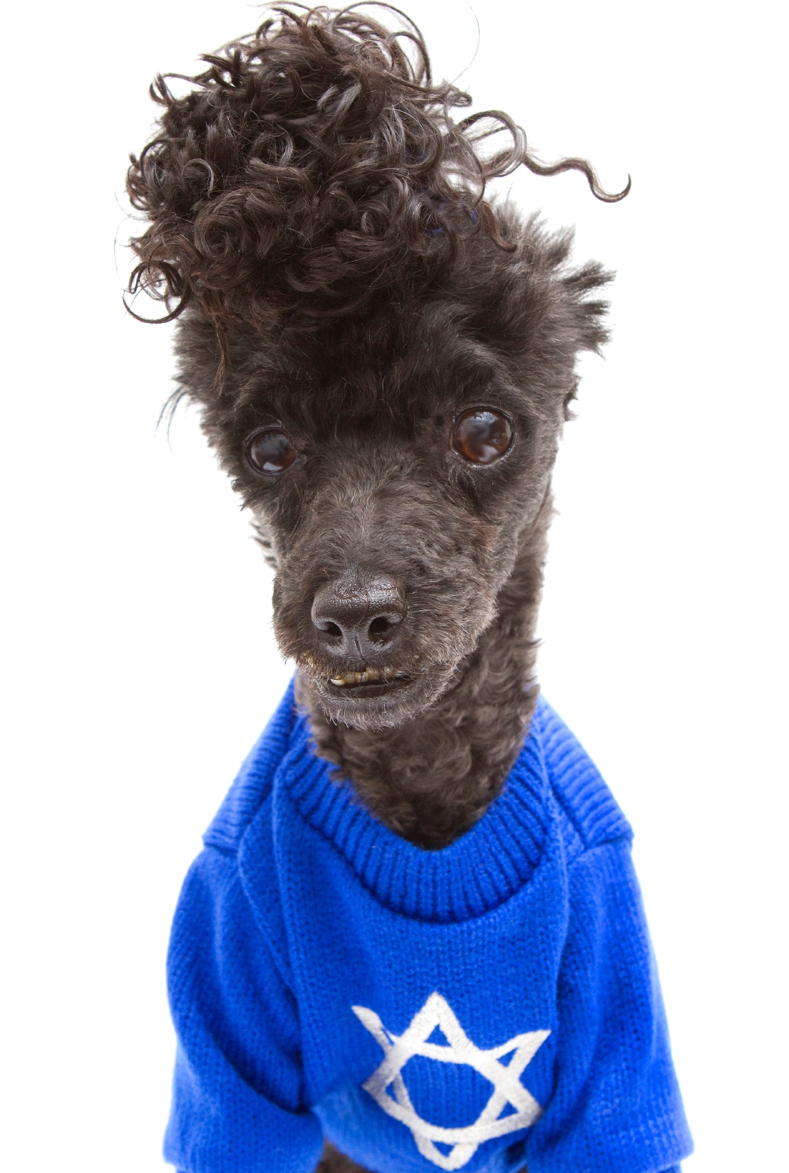 poodle with hanukkah sweater
