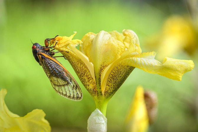 An Unlikely Parenting Guru Has Emerged: Brood X Cicadas